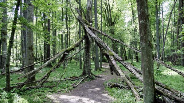 En Pologne, pourquoi la forêt vierge de Białowieża arrive-t-elle devant la Cour de justice européenne ?