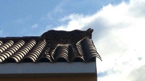 Hérault : appelés pour neutraliser un léopard dangereux, les gendarmes arrêtent... un chat