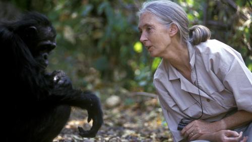 Jane Goodall, la femme qui murmure à l'oreille des chimpanzés