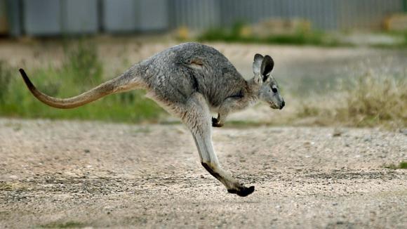 Un wallaby en Australie en juin 2006