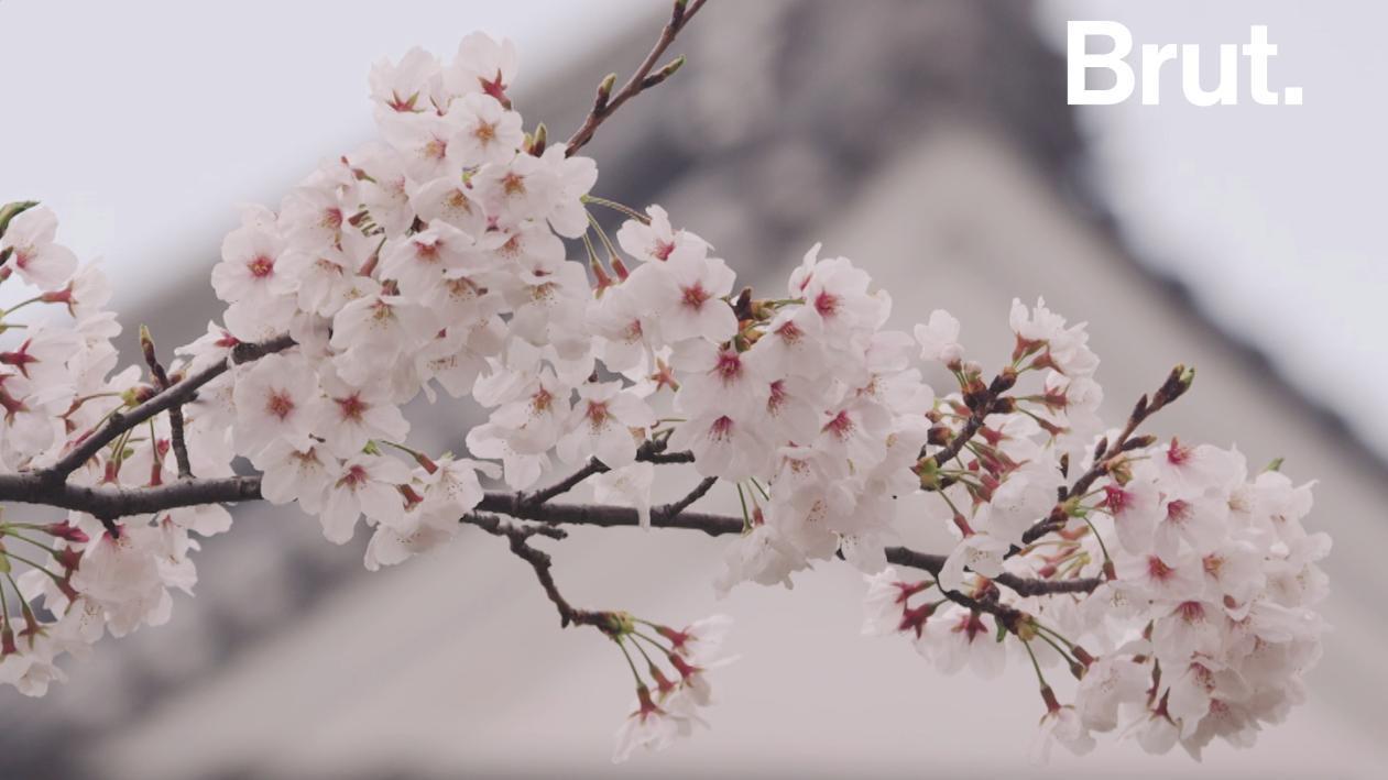 Au japon les cerisiers en fleurs marquent le retour du printemps - Greffe du cerisier au printemps ...
