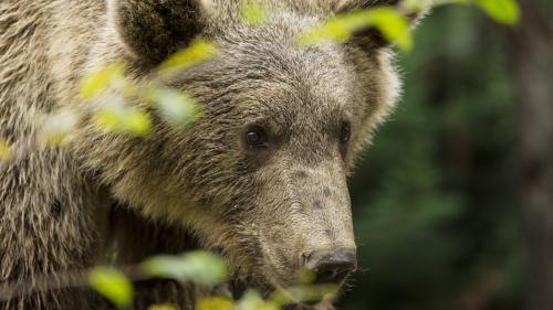 """Nicolas Hulot """"souhaite engager la réintroduction de deux ourses dans les Pyrénées-Atlantiques à l'automne"""""""