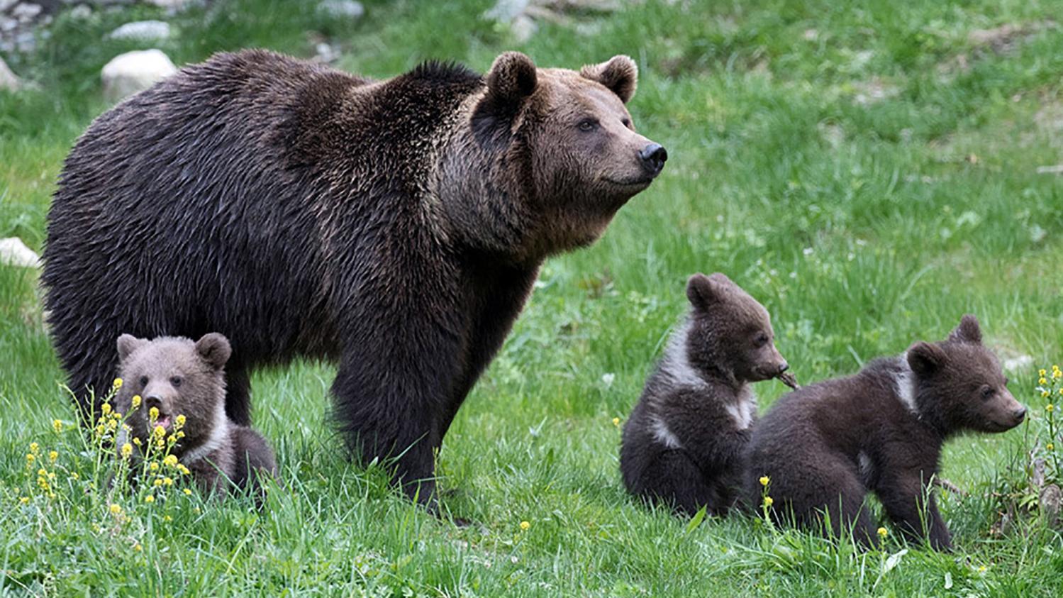 carte pyr n es dans quelles zones les ours sont ils les plus pr sents. Black Bedroom Furniture Sets. Home Design Ideas
