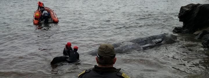 Le cachalot retrouvé mort sur une plage de Cabo de Palos (Espagne), le 27 février 2018.