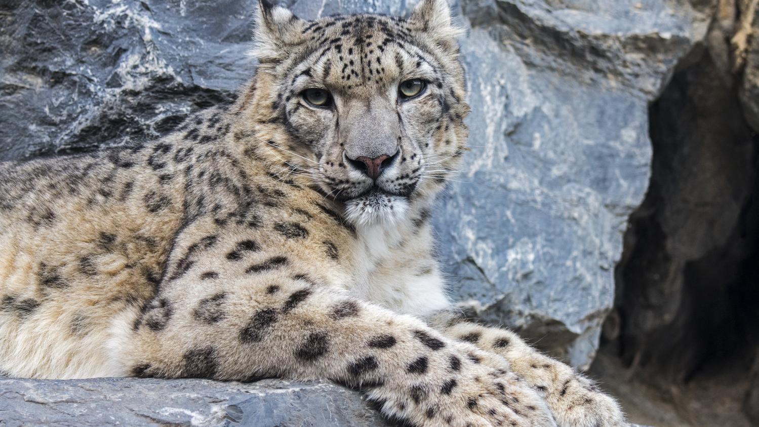 c0959fddac85c Léopards des neiges   les chasseurs devenus protecteurs