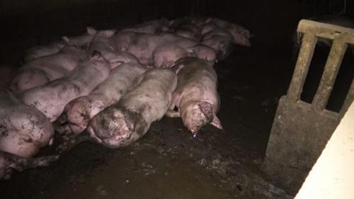 INFO FRANCE 3. Dans une nouvelle vidéo choc, l'association L214 dénonce les conditions d'élevage des porcs dans une exploitation du Tarn