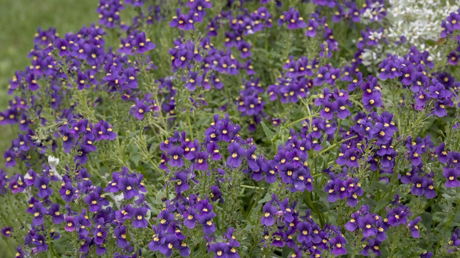 Jardin pens es et violettes sont cousines for Le jardin neufchatel sur aisne
