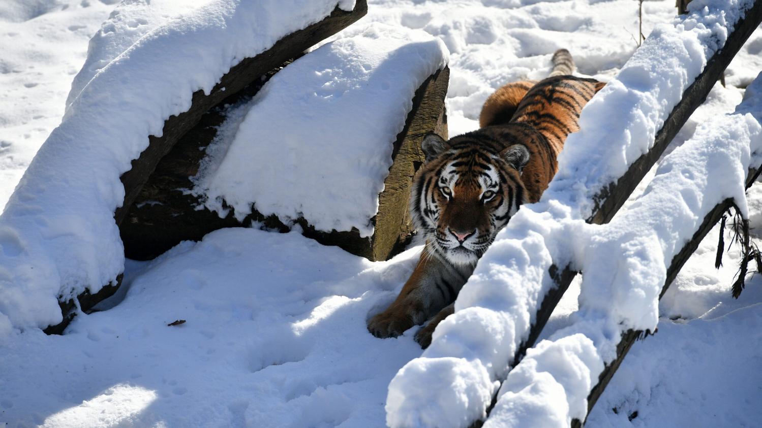 A nous marque le zoo de thoiry participe la sauvegarde for Zoo en yvelines