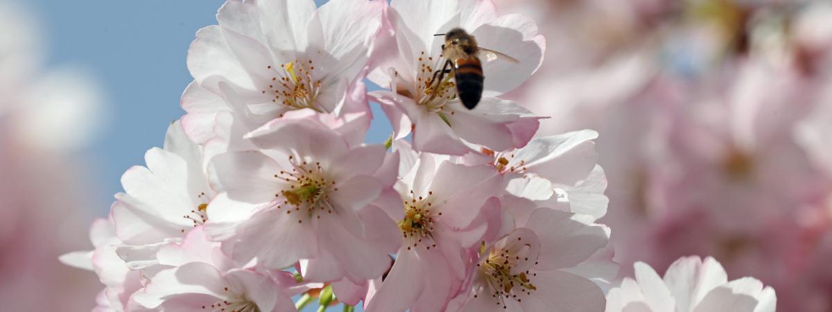 Une abeille butine un arbre en fleurs, à Mulhouse (Haut-Rhin), le 8 avril 2018.