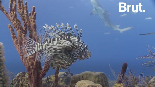 Le poisson-lion, un nuisible à la conquête de la Méditerranée 1