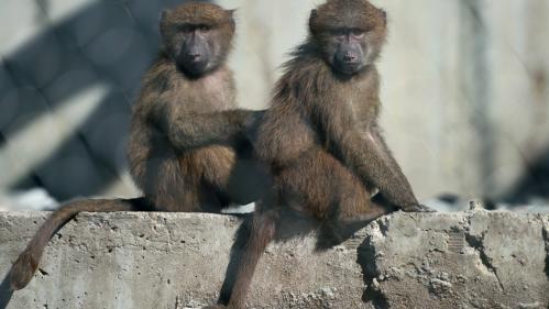 VIDEO. Etats-Unis : des babouins s'échappent d'un institut de recherche biomédicale