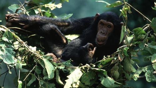 Les chimpanzés ont des lits plus propres que les humains