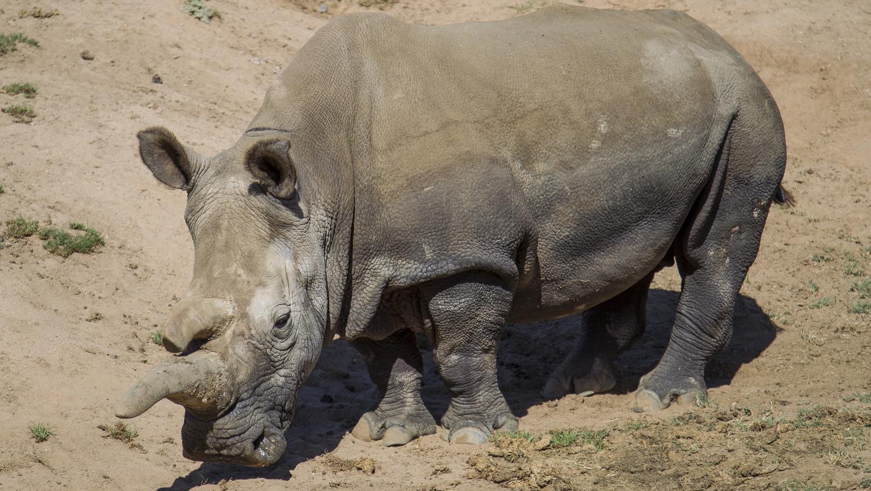 un espoir pour le rhinoc ros blanc du nord apr s l 39 ins mination artificielle d 39 une femelle en. Black Bedroom Furniture Sets. Home Design Ideas