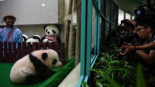 Malaisie : un deuxième bébé panda né au zoo de Kuala Lumpur présenté au public
