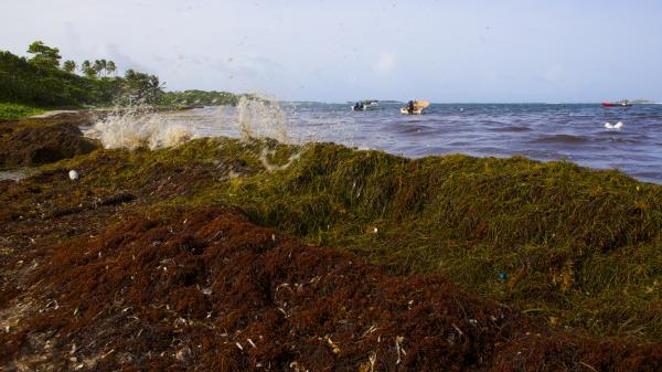 Sargasses aux Antilles : la traque des scientifiques