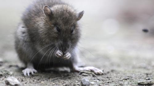 A Paris, un élu lance un site pour signaler la présence de rats dans les rues