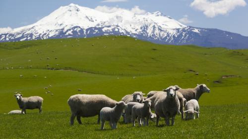En Nouvelle-Zélande, des scientifiques ont réduit de 10% les rots et les pets des moutons