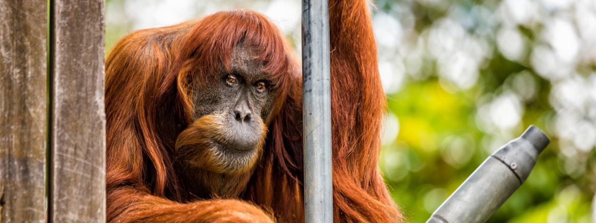 Puan, la plus vieille orang-outang du monde, est morte le 18 juin 2018 au zoo de Perth (Australie).
