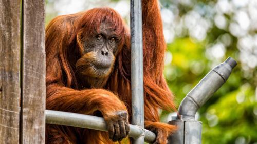 L'orang-outang le plus âgé du monde est mort dans un zoo australien