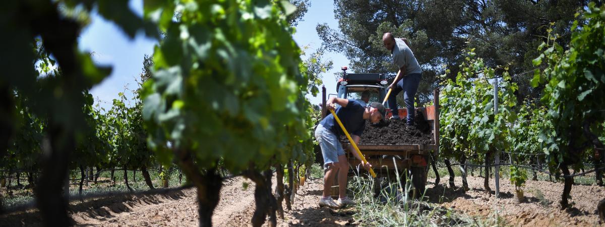 Beaujolais : des vignes touchées par les intempéries
