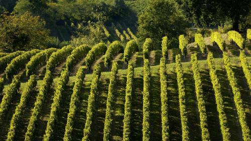 Maladie de l'esca : les vignobles français menacés