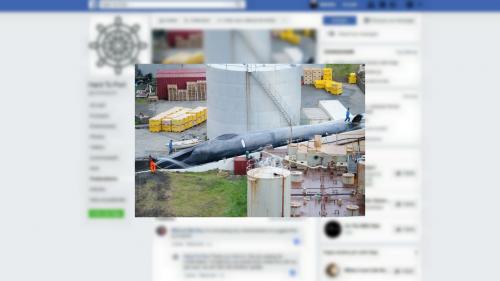 Islande : des baleiniers accusés d'avoir tué une baleine bleue, une espèce protégée