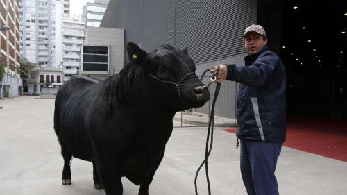 """Un taureau argentin baptisé """"Mbappé"""" en hommage au champion du monde français"""
