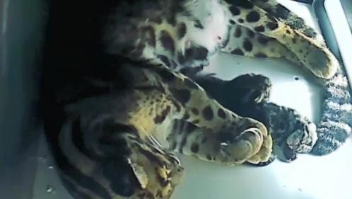 Haut-Rhin : deux panthères nébuleuses sont nées au zoo de Mulhouse, une première en France depuis quatre ans
