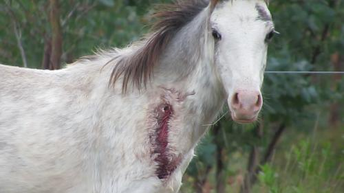 """""""Fermes à sang"""" : une nouvelle vidéo montre des juments saignées en Amérique du Sud pour des élevages français"""