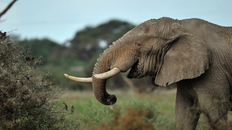 Afrique : l'éléphant, une espèce à sauver d'urgence
