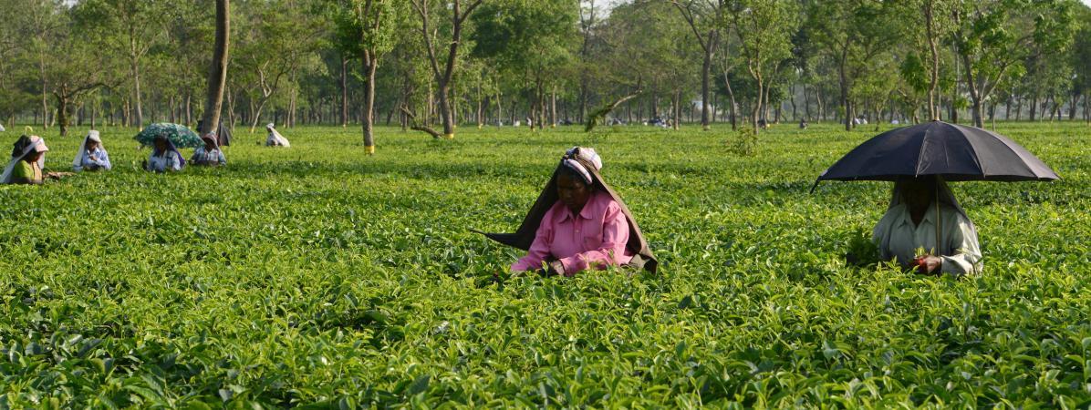 Des ouvriers du thé, le 27 avril 2017, en Inde.