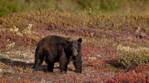 Etats-Unis : un père et son fils filmés en train de tuer illégalement une ourse et ses petits en Alaska