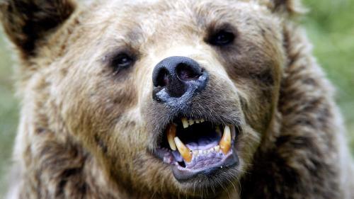 """""""J'ai commencé à voir ma vie défiler"""" : un randonneur, poursuivi par une ourse dans les Pyrénées, s'en sort indemne"""
