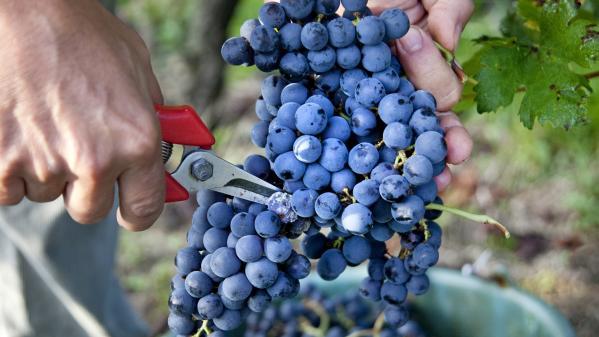 Rencontre : tout quitter pour devenir vigneron dans l'Hérault