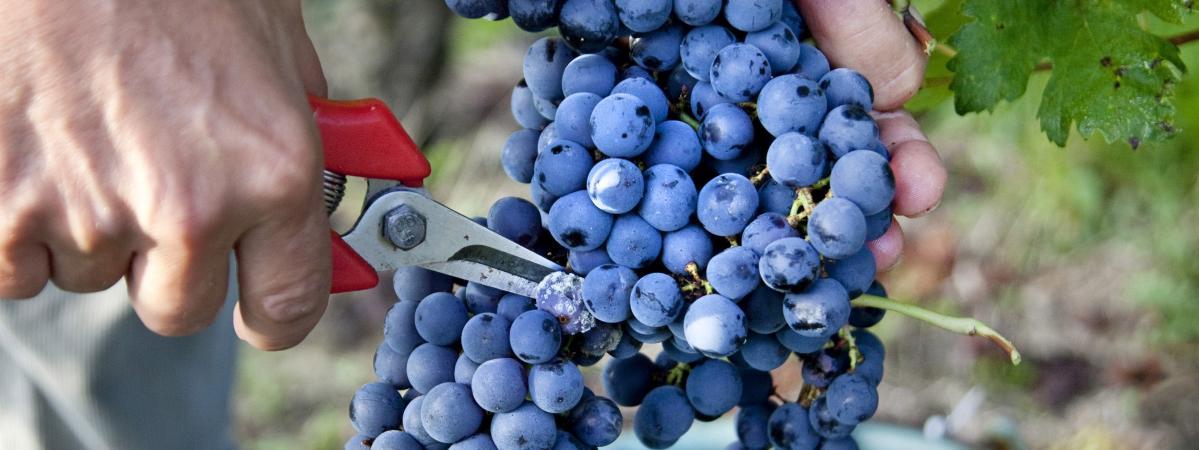 Brexit : l'inquiétude des viticulteurs