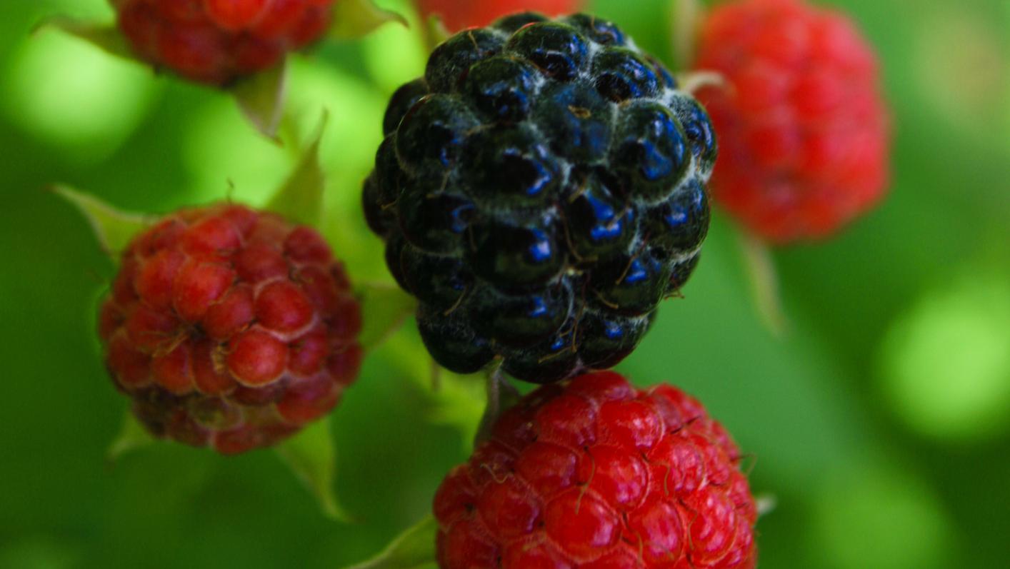 Jardin. Découvrez le mûrier-fraisier, insolite ronce japonaise
