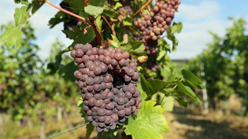 Consommation : quelles différences entre vin naturel, vin bio et vin biodynamique ?