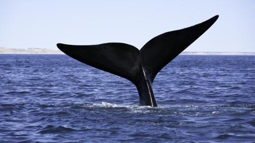 Les pays chasseurs de baleine sabordent à nouveau la création d'un sanctuaire dans l'Atlantique sud