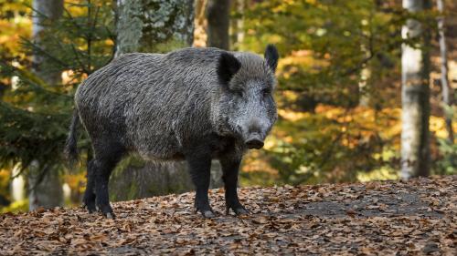 Belgique : deux cas de peste porcine africaine confirmés à quelques kilomètres de la frontière française