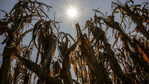 Sécheresse : d'importantes pertes pour les agriculteurs