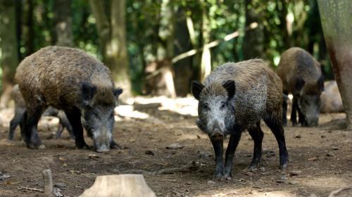 Peste porcine : pour se protéger, la France installe des clôtures
