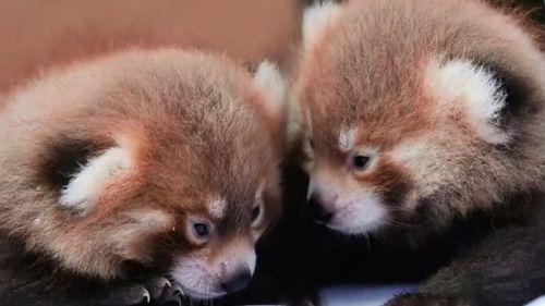 Lyon : les deux bébés pandas roux ont été baptisés après un vote des internautes