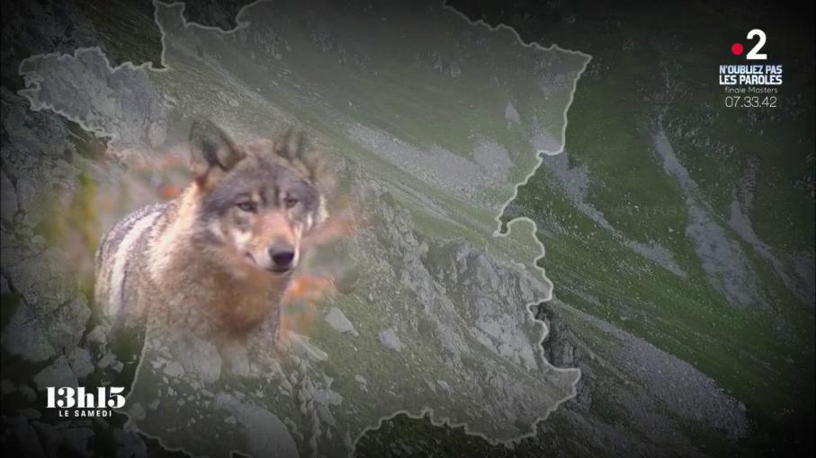 Video extermin avant d 39 tre prot g le loup est de - Tomber enceinte avant retour de couche ...