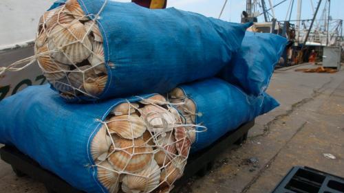 Le port de Dieppe crée un Label rouge pour les plus belles coquilles Saint-Jacques normandes
