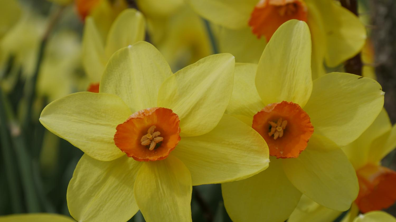 Jardin comment planter les bulbes floraison printani re - Comment passer en floraison ...