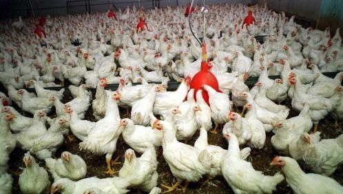 """Porcs, veaux, lapins, poules : le bien-être animal est peu pris en considération par les industriels relève """"60 millions de consommateurs"""""""