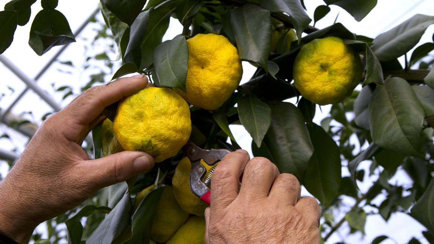 Comment Cultiver Un Citronnier En Pot jardin. comment cultiver le yuzu