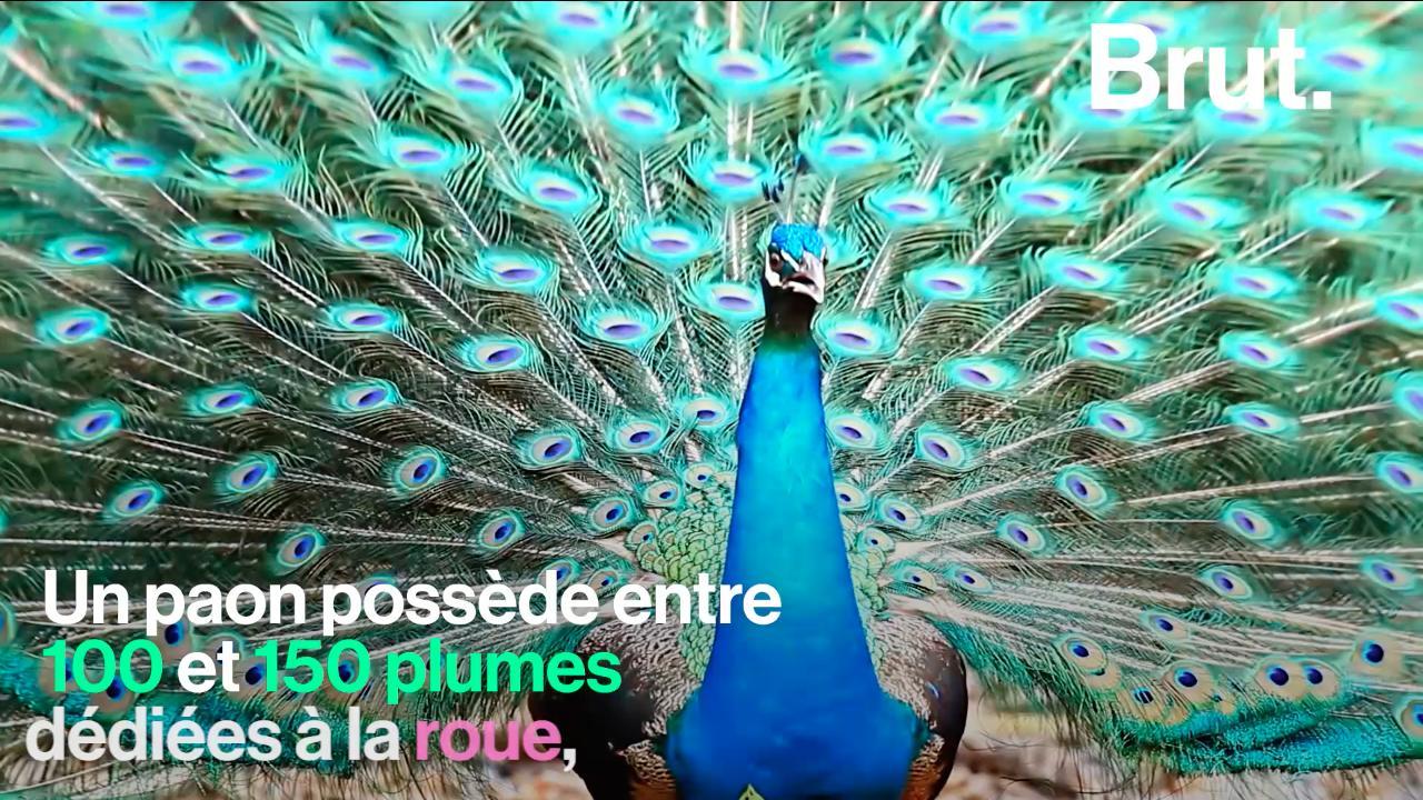 Le Paon Qui Fait La Roue video. parade nuptiale du paon, simple moyen de séduction ?