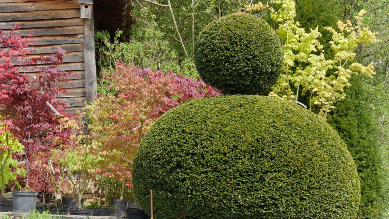 Planter Une Bordure De Buis jardin. remplacer les buis dévastés par la pyrale