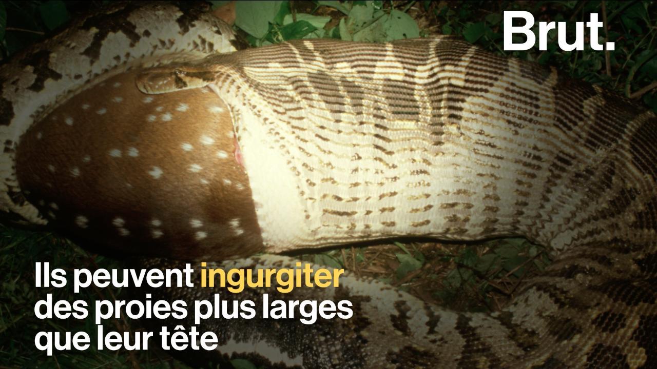 video comment les serpents avalent ils leurs proies ophiophobes cette vid o n est pas pour vous. Black Bedroom Furniture Sets. Home Design Ideas